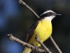 041-great-kiskadee