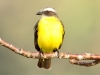 044-social-flycatcher
