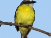 073-gray-capped-flycatcher