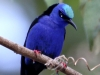 075-red-legged-honeycreeper