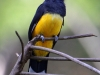 085-black-headed-trogon