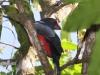 093-slaty-tailed-trogon