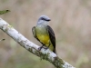 103-tropical-kingbird