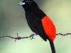 105-passerinis-tanager