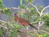 106-gray-headed-chachalaca