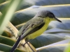 107-common-tody-flycatcher