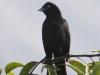 113-melodious-blackbird