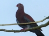123-red-billed-pigeon