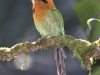131-broad-billed-motmot