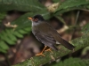 139-orange-billed-nightingale-thrush