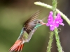 155-rufous-tailed-hummingbird