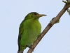 167-green-honeycreeper-female