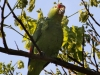 175-red-lored-parrot