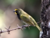 187-yellow-faced-grassquit