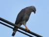 189-gray-hawk