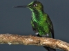 205-green-crowned-brilliant