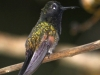 207-black-bellied-hummingbird