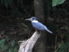 225-ringed-kingfisher