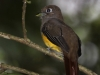 227-black-throated-trogon-female
