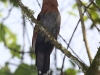 229-squirrel-cuckoo