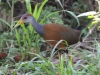 233-gray-necked-wood-rail
