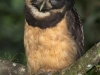 237-spectacled-owl