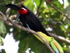 257-keel-billed-toucan-feeding