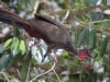259-crested-guan