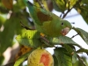 263-orange-chinned-parakeet