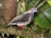 277-gray-chested-dove