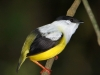 279-white-collared-manakin