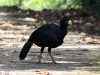 281-great-curassow-male
