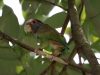 285-white-crowned-parrot
