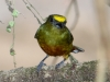 295-olive-backed-euphonia-male