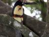 299-collared-aracari