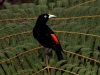 303-scarlet-rumped-cacique