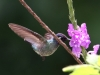 351-violet-headed-hummingbird