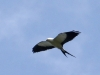 370-swallow-tailed-kite