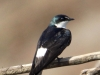 377-mangrove-swallow