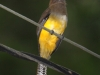 405-black-headed-trogon-female