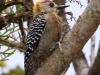 419-hoffmanns-woodpecker