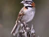 427-rufous-collared-sparrow