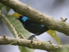 431-blue-dacnis-hiding