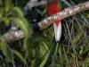 435-resplendant-quetzal2