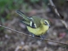 439-yellow-winged-vireo