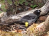 451-yellow-thighed-finch