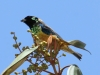 455-spangle-cheeked-tanager