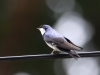 459-blue-and-white-swallow