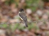 465-black-capped-flycatcher
