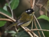 471-sooty-capped-bush-tanager